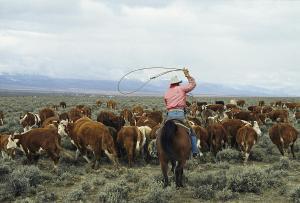 cowboy herd